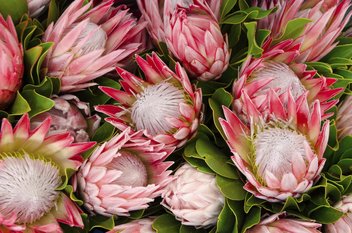 1200-28620842-bunches-of-proteas